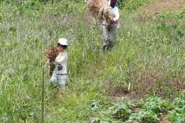 さとやま学校だより16号「檜原村で麦を作る」
